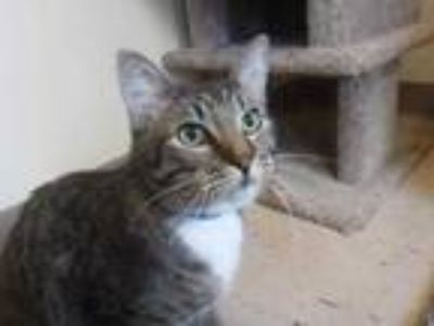 Adopt Tom a Tan or Fawn Domestic Shorthair / Domestic Shorthair / Mixed (short