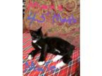 Adopt Betty Boop a Black & White or Tuxedo Manx cat in Loganville, GA (24292663)