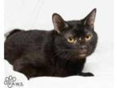 Adopt Julien a All Black Domestic Shorthair / Domestic Shorthair / Mixed cat in
