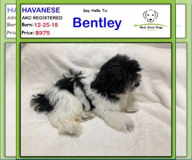 Havanese PUPPY FOR SALE ADN-130761 - Bentley
