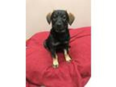 Adopt Amy a Black Labrador Retriever, Hound