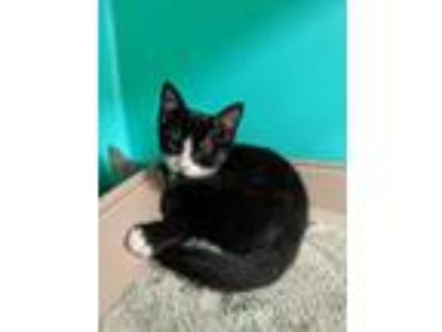 Adopt Chaktay a Black & White or Tuxedo American Shorthair (short coat) cat in