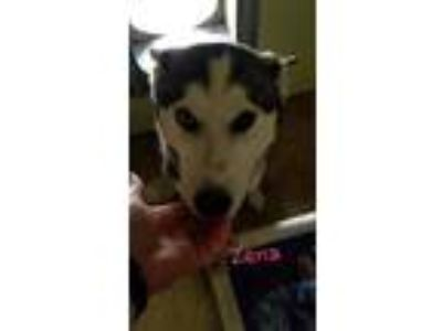 Adopt Xena a Husky / Mixed dog in Lagrange, IN (25189784)
