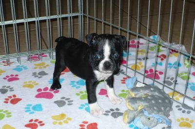 Boston Terrier PUPPY FOR SALE ADN-103644 - Boston Terrier Puppy