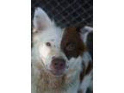 Adopt Skye a Australian Cattle Dog / Blue Heeler, Border Collie