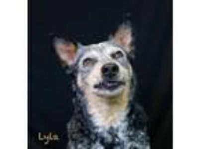 Adopt Lyla a Australian Cattle Dog / Mixed dog in Hot Springs Village