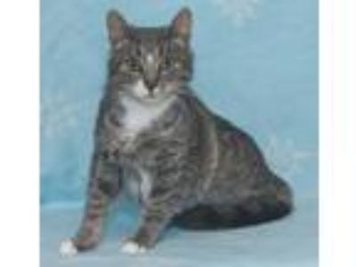 Adopt Jazzy a Gray or Blue (Mostly) Domestic Shorthair (short coat) cat in