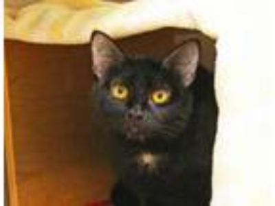 Adopt Audrey a All Black Domestic Shorthair / Domestic Shorthair / Mixed cat in