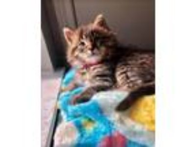 Adopt Mousse a Maine Coon