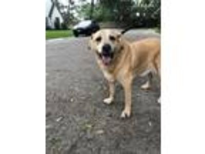 Adopt Samson a Tan/Yellow/Fawn Labrador Retriever / Mixed dog in Houston