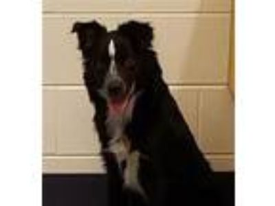 Adopt Marley a Border Collie / Mixed dog in Golden, CO (25302140)