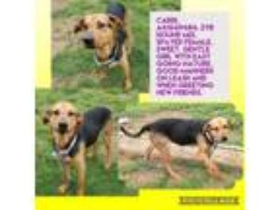 Adopt Cardi a German Shepherd Dog, Mixed Breed