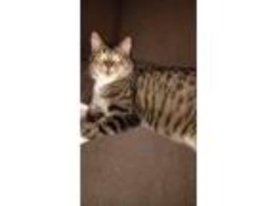 Adopt Mister Kitty a Brown Tabby RagaMuffin / Mixed cat in Plainwell