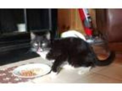 Adopt Cecelia a Domestic Short Hair