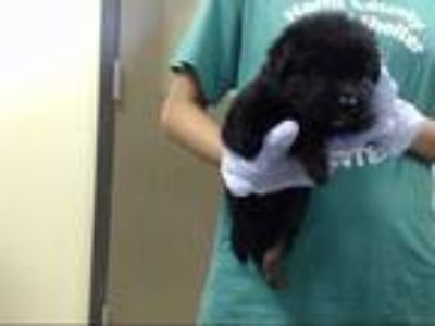Adopt a Black Chow Chow / Border Collie / Mixed dog in Houston, TX (25912931)