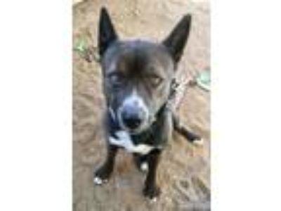 Adopt Quinn a Akita, Cattle Dog