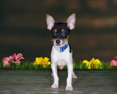 Rare Male Toy Fox Terrier (Male)