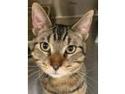 Adopt Tulkas a Domestic Shorthair / Mixed cat in Bemidji, MN (25339004)