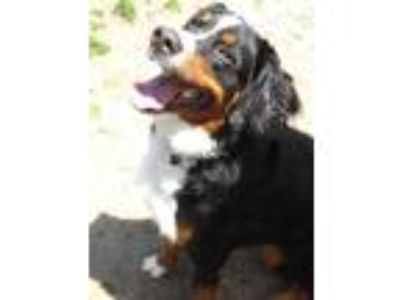Adopt Floofer a Brown/Chocolate Bernese Mountain Dog / Mixed dog in Voorhees