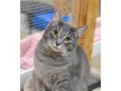 Adopt Vinnie a Domestic Shorthair / Mixed cat in Delaware, OH (24069971)