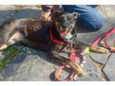 Adopt Ketch a Australian Cattle Dog / Border Collie / Mixed dog in Durham