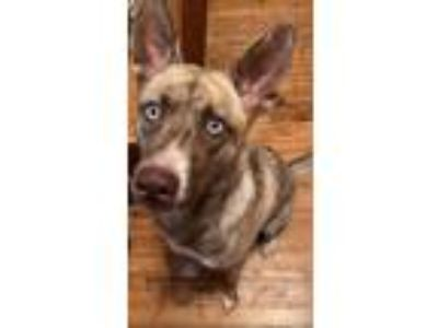 Adopt Lucy a Husky, American Staffordshire Terrier