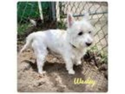 Adopt Wesley a Westie, West Highland White Terrier / Mixed dog in Ocala