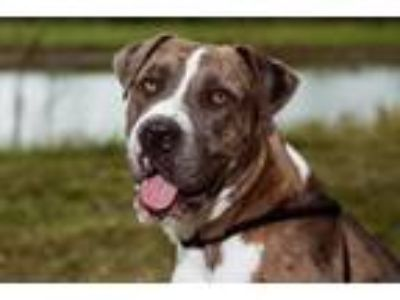 Adopt Rachel a Mastiff, Mixed Breed