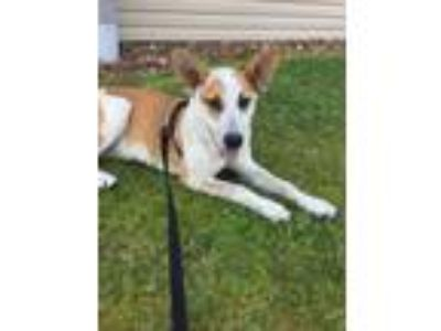 Adopt Dozer a Australian Cattle Dog / Blue Heeler