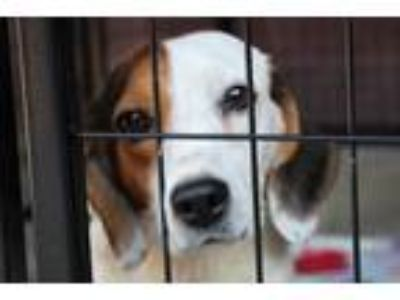 Adopt Sookie a Tricolor (Tan/Brown & Black & White) Beagle / Mixed dog in
