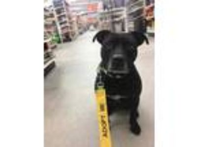 Adopt Harley a Black American Pit Bull Terrier / Mixed dog in Manitowoc