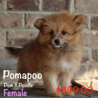 Pom-A-Poo PUPPY FOR SALE ADN-98516 - Female Pomapoo Puppy