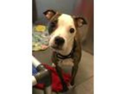 Adopt Mariachi a Boston Terrier / Whippet / Mixed dog in Pittsburgh