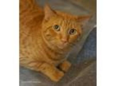 Adopt Abraham a Orange or Red Domestic Shorthair / Mixed cat in Tucson