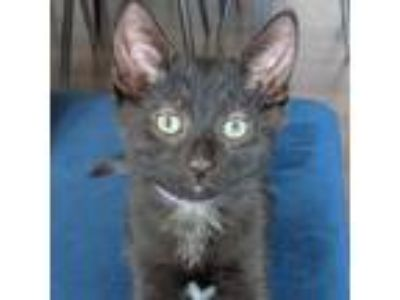 Adopt Aster a All Black Domestic Shorthair / Domestic Shorthair / Mixed cat in