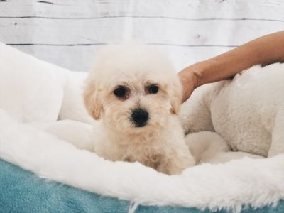 Unknown-Maltipoo Mix PUPPY FOR SALE ADN-52820 - Maltipoo Male Snoopy