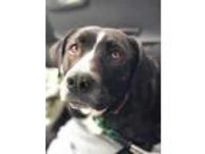 Adopt 5162 Mille2 a Border Collie, Black Labrador Retriever
