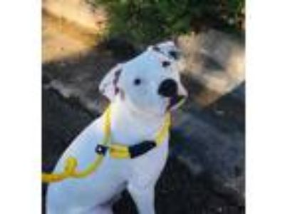 Adopt TUCKER a White American Pit Bull Terrier / Mixed dog in Justin