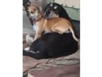 Adopt Bubba a Black - with Gray or Silver Rhodesian Ridgeback dog in Wasilla