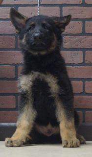 German Shepherd Dog PUPPY FOR SALE ADN-96359 - Amazing AKC German  Shepherd Puppies