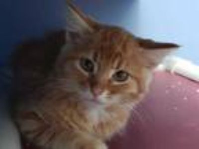Adopt ASLAN a Orange or Red Tabby Domestic Shorthair / Mixed (short coat) cat in