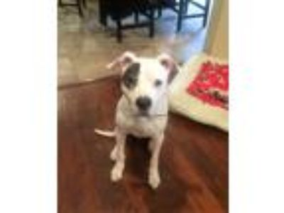 Adopt Bernie Sanders a White - with Black Pit Bull Terrier / Mixed dog in