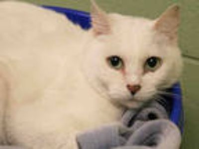 Adopt LOVEBUG a White Domestic Shorthair / Mixed (short coat) cat in Brighton
