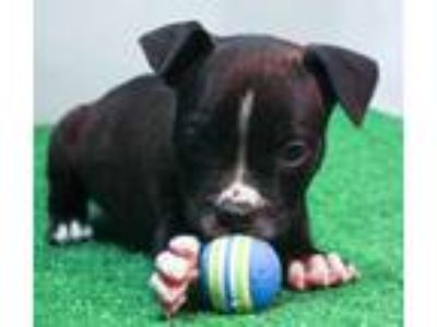 Adopt Darby a Pit Bull Terrier
