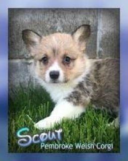 Scout Male ACA Pembroke Welsh Corgi