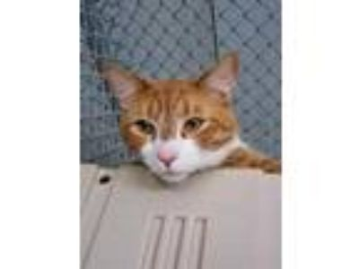 Adopt Gato a Orange or Red Domestic Shorthair / Domestic Shorthair / Mixed cat