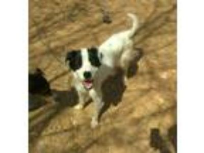 Adopt Dixie a Border Collie / Mixed dog in Hanover, PA (21589386)
