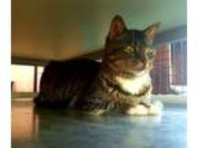 Adopt Harley a Tabby, Domestic Short Hair