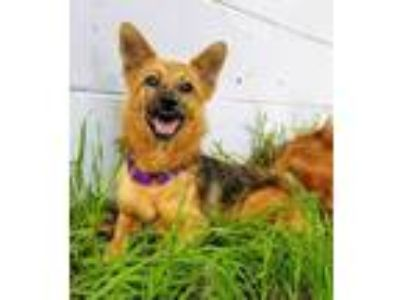Adopt Sequoia a Collie / Shepherd (Unknown Type) / Mixed dog in Fort Myers