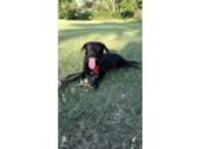 Adopt Sharlot a Black Labrador Retriever / Mixed dog in Bixby, OK (24352582)